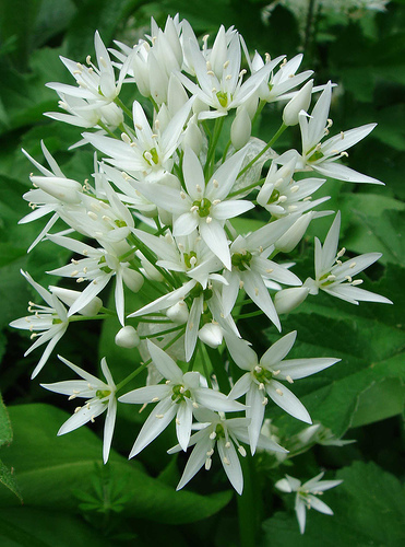 Ransoms - Wild Garlic